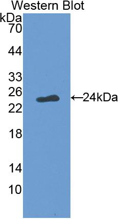 Polyclonal Antibody to Factor Related Apoptosis Ligand (FASL)