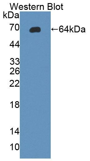 Polyclonal Antibody to Glycoprotein 130 (gp130)
