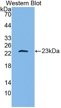 Polyclonal Antibody to Interleukin 10 (IL10)