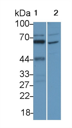 Polyclonal Antibody to Interleukin 16 (IL16)