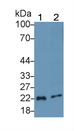 Polyclonal Antibody to Interleukin 18 (IL18)
