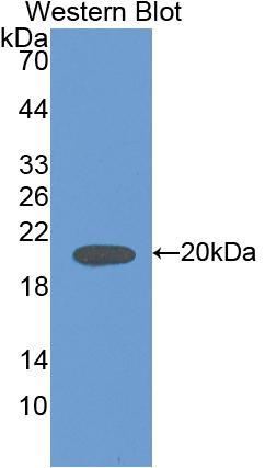 Polyclonal Antibody to Interleukin 18 (IL18)
