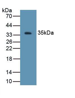 Polyclonal Antibody to Defensin Beta 2 (DEFb2)