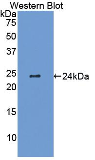 Biotin-Linked Polyclonal Antibody to Interleukin 6 (IL6)