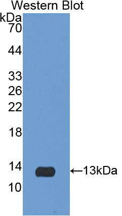 FITC-Linked Polyclonal Antibody to Interleukin 8 (IL8)