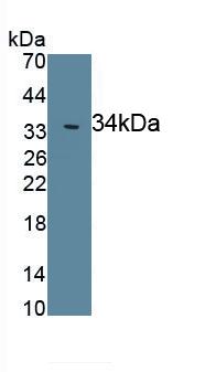 Polyclonal Antibody to Leptin (LEP)
