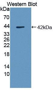 Polyclonal Antibody to Monocyte Chemotactic Protein 2 (MCP2)