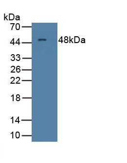 Polyclonal Antibody to Colony Stimulating Factor 1, Macrophage (MCSF)