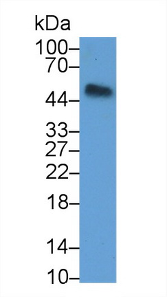 Polyclonal Antibody to Osteoprotegerin (OPG)