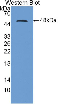 Polyclonal Antibody to Cluster Of Differentiation 40 Ligand (CD40L)