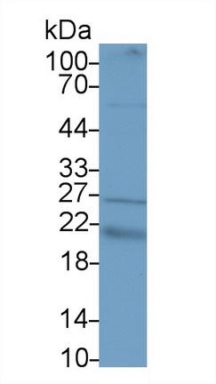Polyclonal Antibody to Vascular Endothelial Growth Factor B (VEGFB)