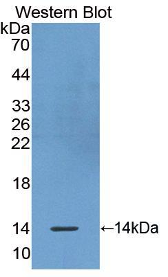 Polyclonal Antibody to Olfactomedin 4 (OLFM4)