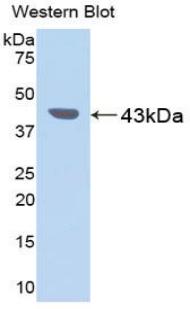 Polyclonal Antibody to Pepsinogen C (PGC)