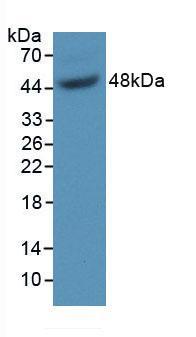 Polyclonal Antibody to Growth Arrest Specific Protein 6 (GAS6)