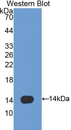 Polyclonal Antibody to Caveolin 1 (CAV1)