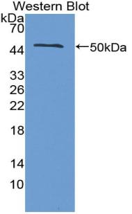 Polyclonal Antibody to Interferon Beta (IFNb)