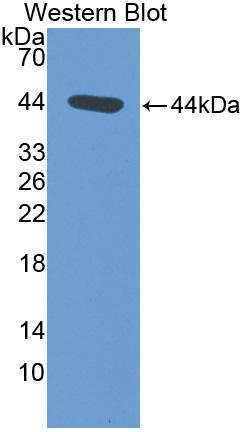 Polyclonal Antibody to Atrial Natriuretic Peptide (ANP)