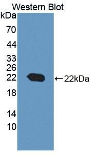 Polyclonal Antibody to Cyclophilin B (CYPB)
