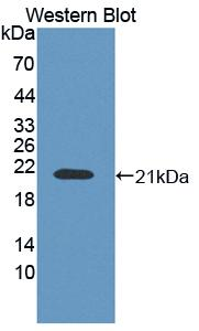 FITC-Linked Polyclonal Antibody to Cyclophilin B (CYPB)