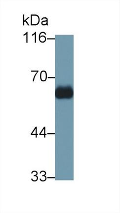 Polyclonal Antibody to Immunoglobulin G4 (IgG4)
