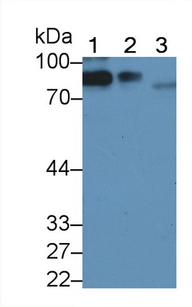 Polyclonal Antibody to Complement 1 Inhibitor (C1INH)