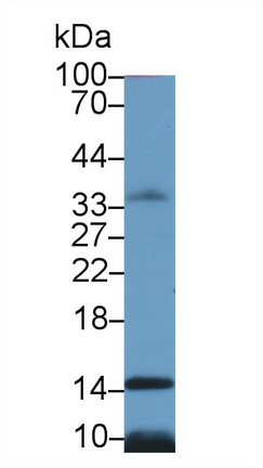 Polyclonal Antibody to Histone H4 (H4)