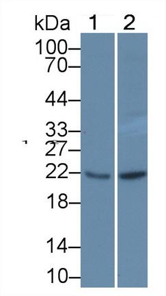 Polyclonal Antibody to Glutathione Peroxidase 1 (GPX1)