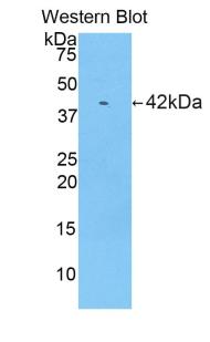 Polyclonal Antibody to Ribonuclease A (RNase A)