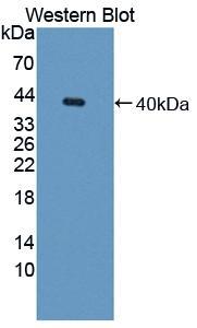 Polyclonal Antibody to Galectin 8 (GAL8)