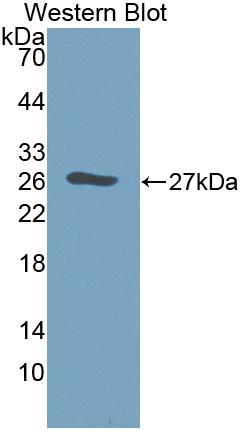 Polyclonal Antibody to Galectin 12 (GAL12)