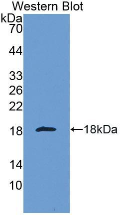 Polyclonal Antibody to Galectin 1 (GAL1)
