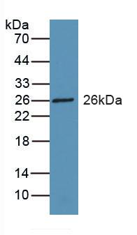 Polyclonal Antibody to Retinol Binding Protein 3, Interstitial (RBP3)
