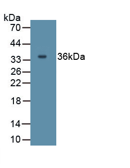 Polyclonal Antibody to Interleukin 27 (IL27)