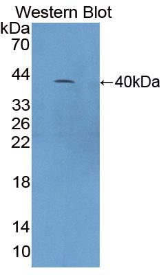Polyclonal Antibody to Complement Component 4a (C4a)