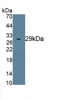 Polyclonal Antibody to Octamer Binding Transcription Factor 4 (OCT4)