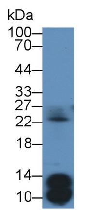Polyclonal Antibody to Insulin (INS)