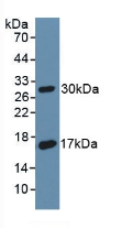 Polyclonal Antibody to Cluster Of Differentiation 55 (CD55)