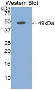 Polyclonal Antibody to Myoglobin (MYO)