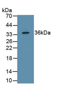 Polyclonal Antibody to Epidermal Growth Factor (EGF)