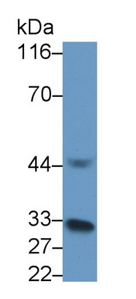 Polyclonal Antibody to Interleukin 1 Beta (IL1b)