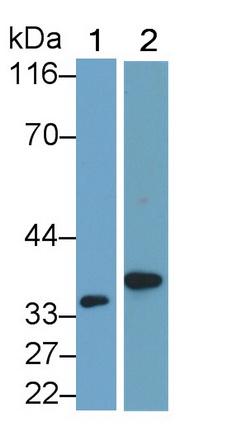 Polyclonal Antibody to Interleukin 1 Beta (IL1b)