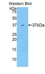 Polyclonal Antibody to Apolipoprotein A2 (APOA2)
