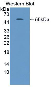 Polyclonal Antibody to Adiponectin (ADPN)