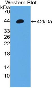 Polyclonal Antibody to Orexin A (OXA)