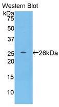 Biotin-Linked Polyclonal Antibody to Pepsin (PP)