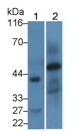 Polyclonal Antibody to Homing Associated Cell Adhesion Molecule (HCAM)
