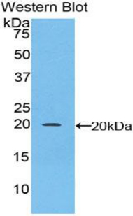 Polyclonal Antibody to CCAAT/Enhancer Binding Protein Gamma (CEBPg)