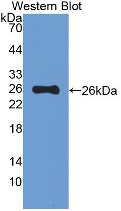 FITC-Linked Polyclonal Antibody to Mucin 5 Subtype B (MUC5B)