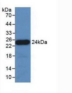 Polyclonal Antibody to Apolipoprotein E (APOE)