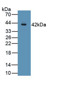 Polyclonal Antibody to Mucin 2 (MUC2)